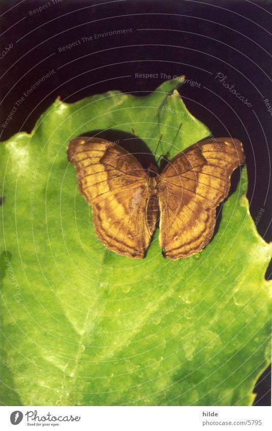 schmetterling grün Blatt braun Schmetterling