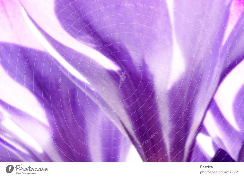 Frühling am Waldrand 4 Krokusse Blume Farbverlauf Hintergrundbild violett