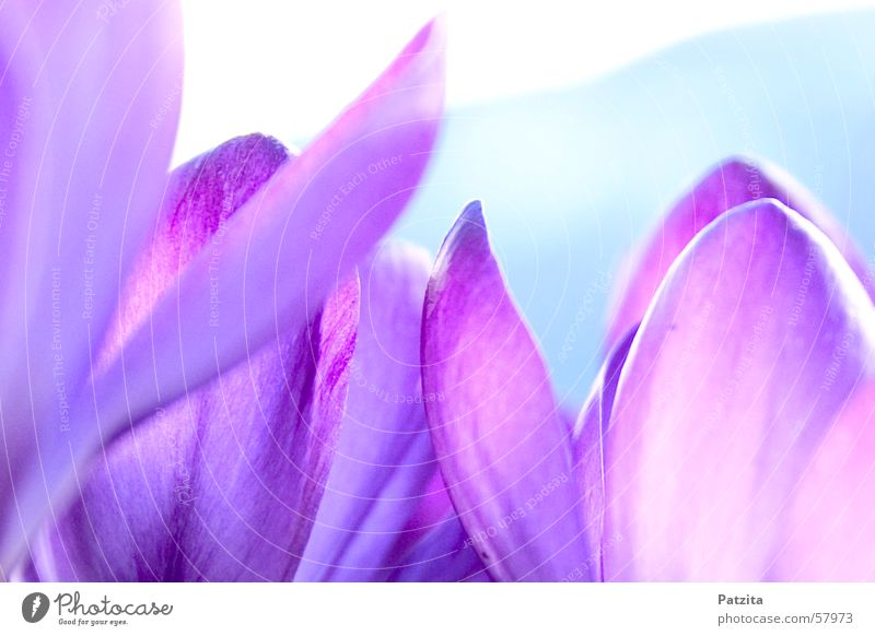 Frühling am Waldrand 3 Krokusse Blume Farbverlauf Hintergrundbild violett