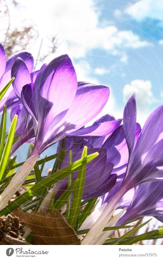 Frühling am Waldrand 1 Blume Hintergrundbild violett Krokusse Farbverlauf