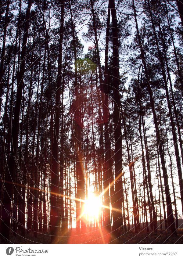 Zentralgestirn und Bäume Wald Baum Baumkrone Sonnenuntergang Dämmerung Nadelwald Gegenlicht zentral Himmel Ast Stern (Symbol) Kiefer orange blau Lausitz Neigung