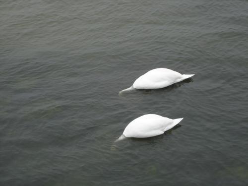 Stereo-Vogelgrippe Wasser Sommer Meer Küste 2 Tierpaar paarweise Ostsee Hals Fressen Im Wasser treiben Schwan Kühlungsborn
