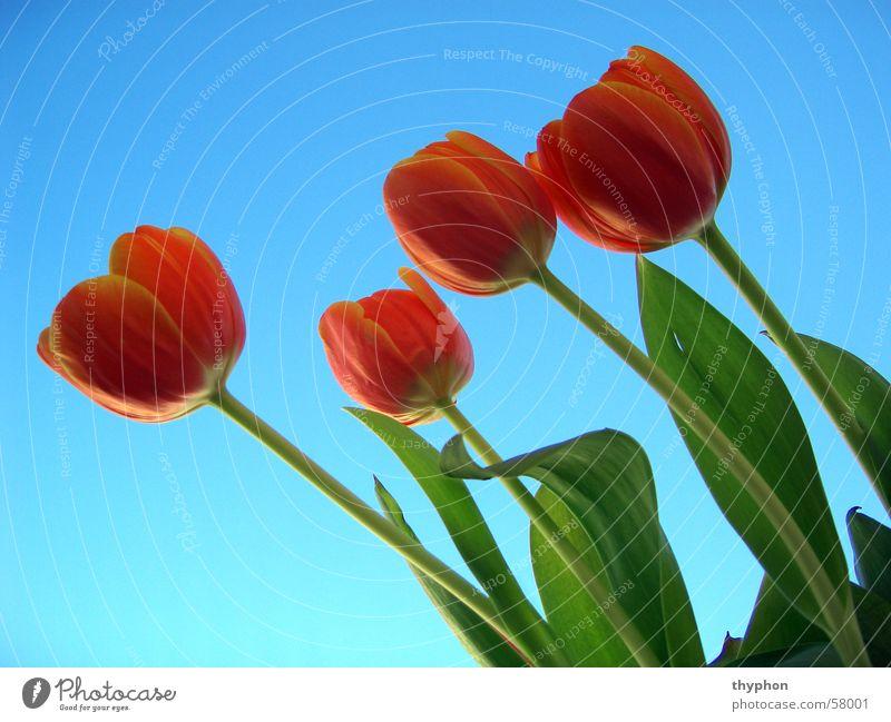 Tulpen Blume Frühling Blüte rot grün Himmel blau 4 Blumenstrauß