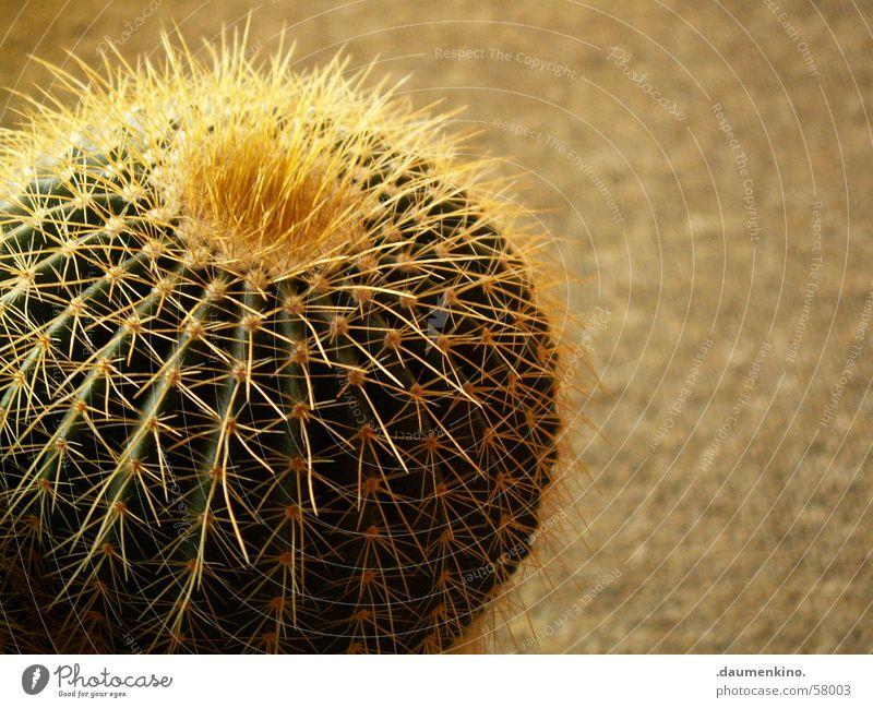 Charisma Kaktus Pflanze Teppich grün gelb gefährlich stachelig Stachel Bodenbelag Wasser