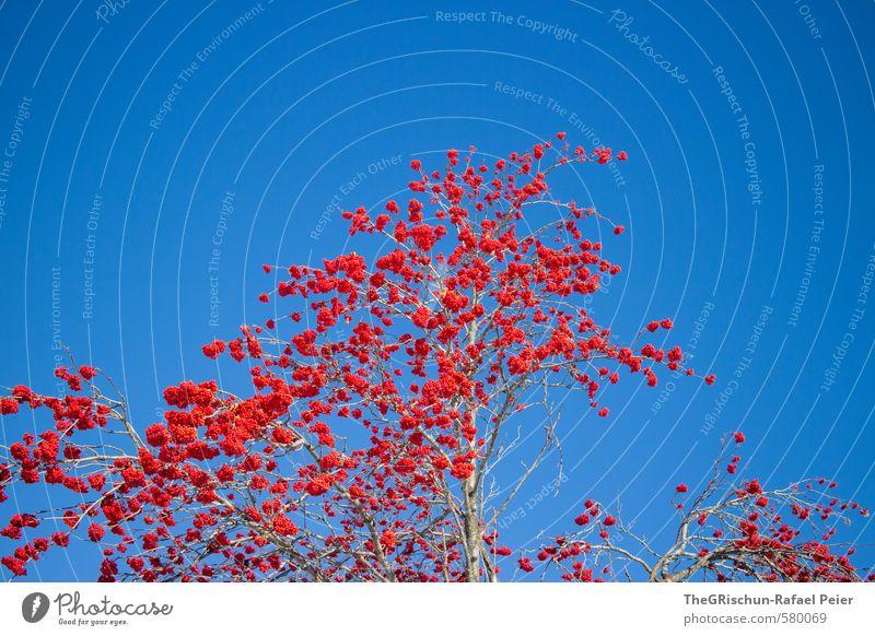 poma-culaischen (Vogelbeere) Umwelt Natur Pflanze Winter blau braun rot Vogelbeeren Sträucher Baum Baumrinde Beeren Himmel himmelblau fruchtbar Kontrast