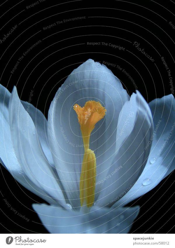 Krokus Blüte Blütenblatt Krokusse weiß schwarz Wassertropfen gelb Finger Stempel Makroaufnahme Schatten