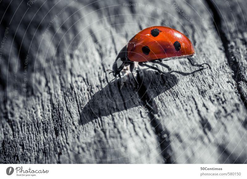 Macro Marienkäfer - Ladybug in Macro weiß rot ruhig Tier schwarz kalt Holz einfach rennen Zoo Käfer geduldig