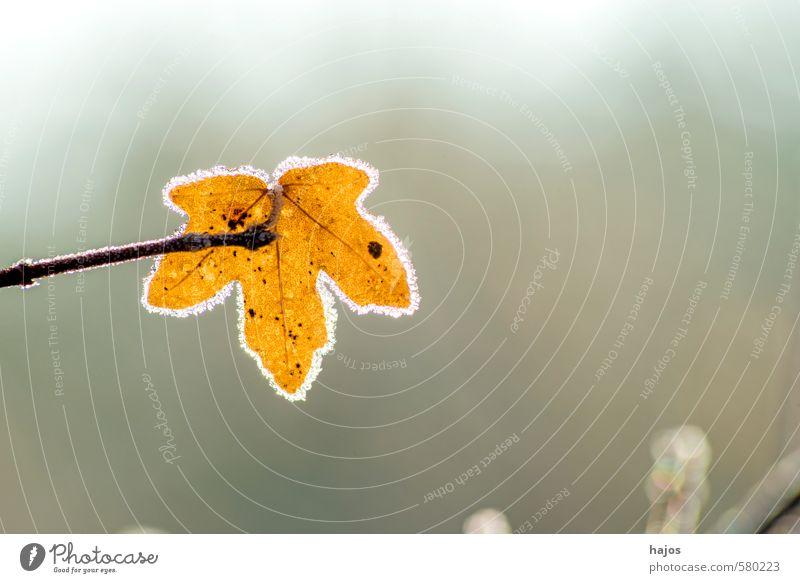 Blatt mit Eiskristallen Winter Natur Pflanze Klima Frost Baum kalt braun gefroren Kristalle Jahreszeiten Saison Struktur Oberfläche Farbfoto Nahaufnahme