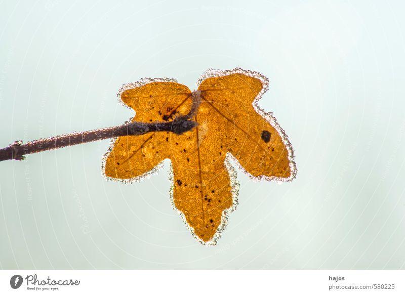 Blatt mit Eiskristallen Winter Natur Pflanze Frost kalt braun gefroren Kristalle Jahreszeiten Saison Struktur Oberfläche Farbfoto Nahaufnahme Makroaufnahme
