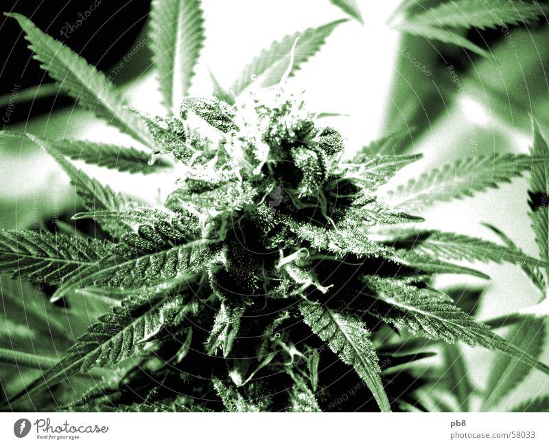 homegrown Pflanze Blüte Blatt grün Cannabis thc