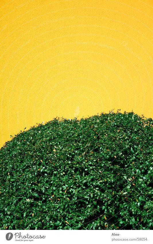 Busch Natur grün Blatt gelb Wand Wohnung Sträucher Ast Putz Hecke