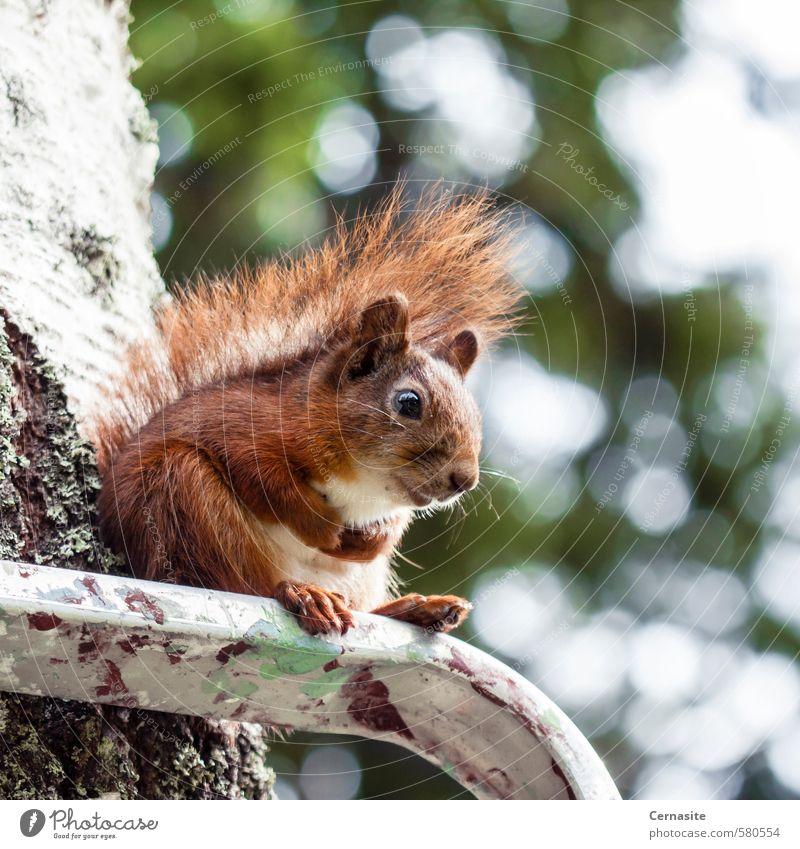 Sitzende Eichhörnchen Natur Tier Sommer Schönes Wetter Baum Wald Wildtier 1 sitzen niedlich braun grün Gelassenheit Erholung Zufriedenheit Unschärfe Leiter