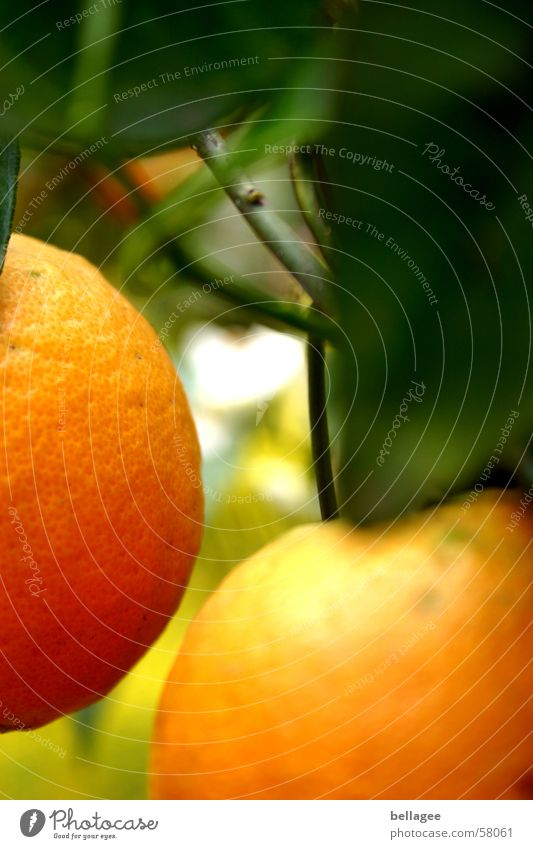 2 orangen sind sich ganz nah Orange Baum Blatt grün gelb frontal hängen Unschärfe braun lecker Ast Frucht Außenaufnahme Anschnitt