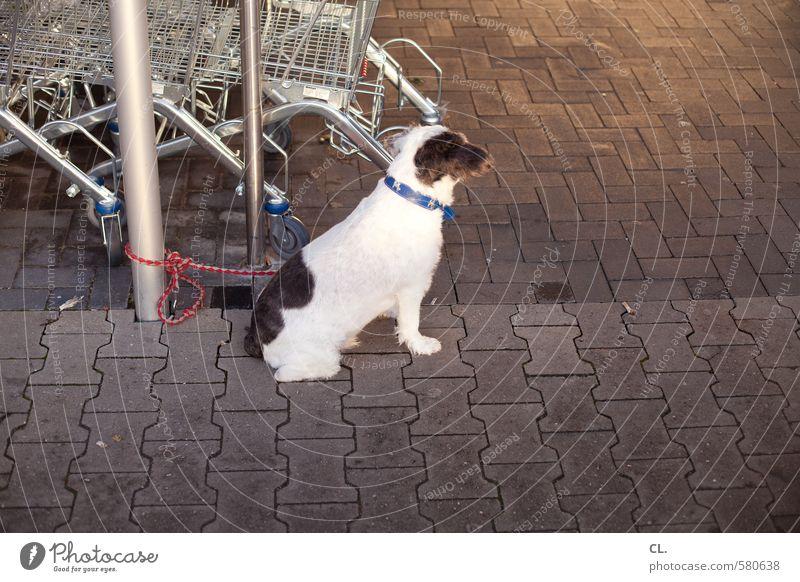 ut pascha | jetzt ne wurst Hund Tier warten kaufen Boden Neugier Wachsamkeit Haustier Vorfreude geduldig Hundeleine Supermarkt Einkaufswagen Tierliebe Hundehalsband ausgesetzt