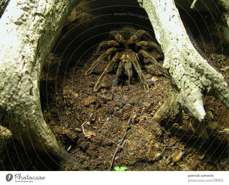 Pfui Spinne Tier Angst Ekel Vogelspinne
