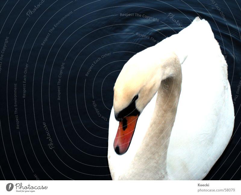 shy swan Wasser weiß Winter dunkel See Schwimmen & Baden Fluss Im Wasser treiben Schwan Schüchternheit Spree Vogelgrippe