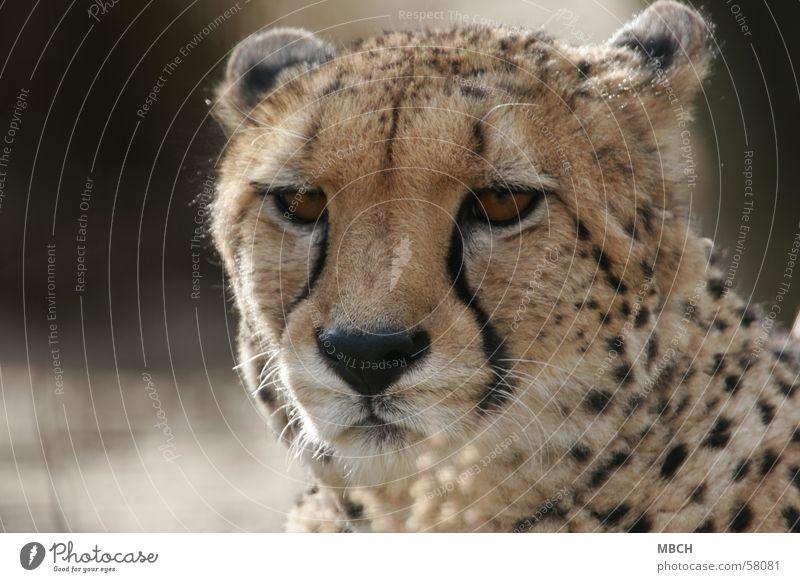 Müde Gepard Punktmuster Katze Tier Raubkatze Nahaufnahme Wildtier Blick