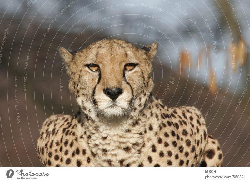 Es blendet Sonne Tier Katze Wildtier Fleck blenden Raubkatze Gepard Punktmuster