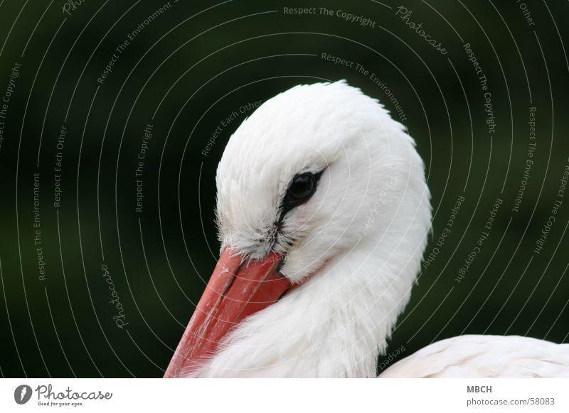 Schüchtern Storch Schnabel weiß Tier Nahaufnahme Blick Auge