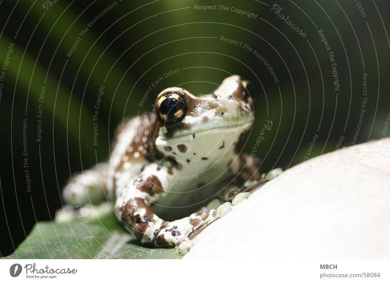 Grins Frosch Tier grosse augen breites maul scheckig Saugnapf