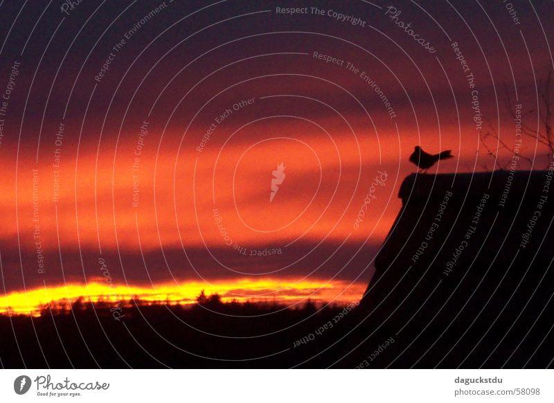 Vogel im Sonnenuntergang Publikum Natur Himmel Wolken Nachthimmel Sonnenaufgang Dach 1 Tier gold rot Gefühle Stimmung Romantik Ende Farbe Amsel brennen Brand