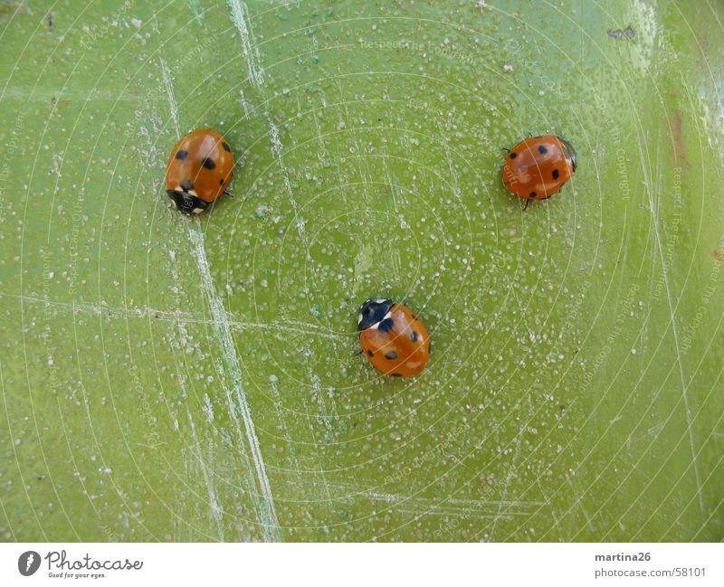drei flotte Käferchen Marienkäfer rot grün 3 Kontrast Insekt Kratzer krabbeln klein Tier Makroaufnahme Nahaufnahme Punkt Strukturen & Formen contrast red three