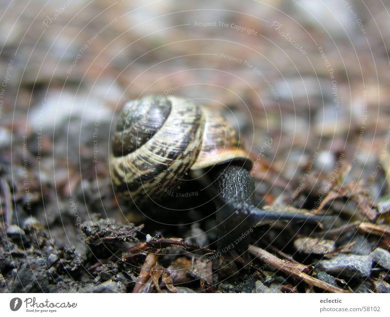 Carl Lewis 2 Schneckenhaus Tier Waldboden Fühler Reptil langsam krabbeln Außenaufnahme Tiefenschärfe Bodenbelag Natur Makroaufnahme Nahaufnahme