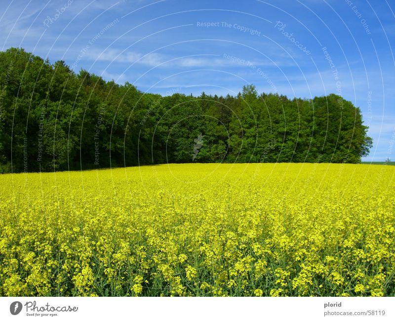 Yellow Flowers Under The Blue Sky schlechtes Wetter Wolken Schliere weiß Waldrand grün dunkelgrün Blume gelb Blühend Wiese einheitlich Feld Sommer Himmel blau