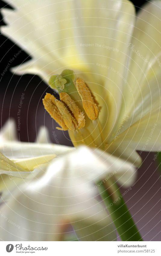 seidiger Stempelträger Natur Blume Pollen Blütenblatt