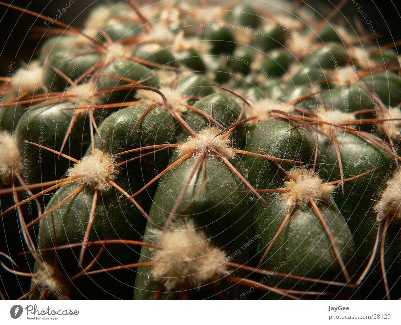 Verstaubter Kaktus, der schon seine beste Zeit hinter sich hatte Natur alt grün Pflanze ruhig gelb Leben Schutz Vergänglichkeit Stillleben Aggression Stachel