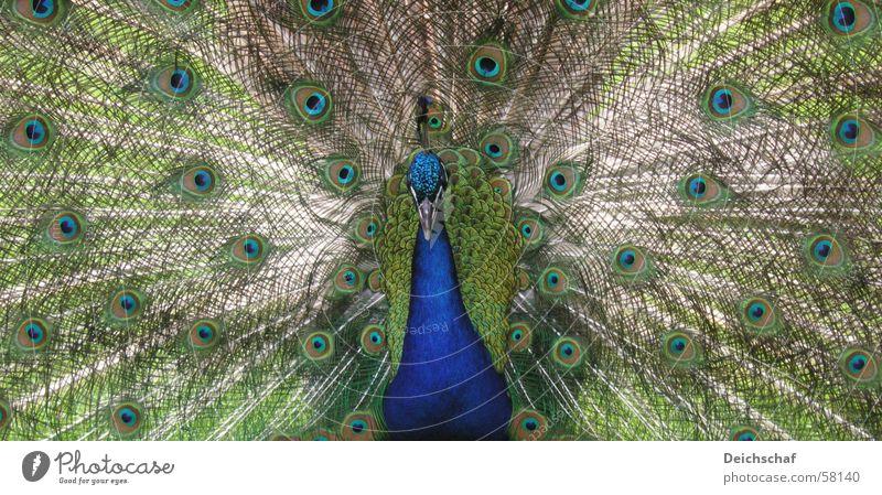 Der Pfau Tier Vogel Schnabel Querformat grün Feder Detailaufnahme blau Pfauenfeder
