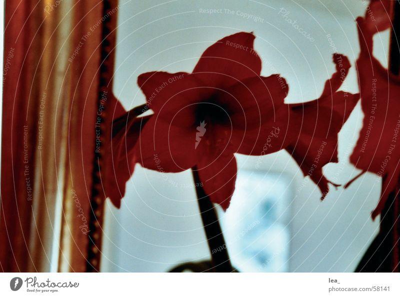 gespiegelt Blume rot Blüte Spiegel Amaryllisgewächse