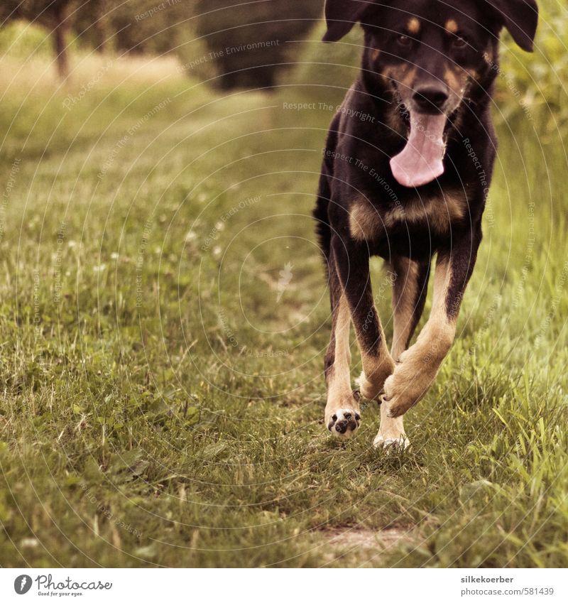 Poldi Natur Sommer Wiese Feld Tier Haustier Hund Tiergesicht Zunge 1 rennen toben sportlich lustig positiv Geschwindigkeit braun grün schwarz Freude Glück