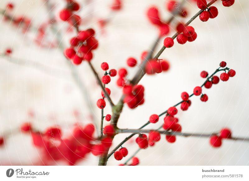 Ilex-Zweige Natur Pflanze schön Farbe rot Innenarchitektur natürlich feminin Wohnung Design Raum Häusliches Leben Dekoration & Verzierung Sträucher ästhetisch Vergänglichkeit