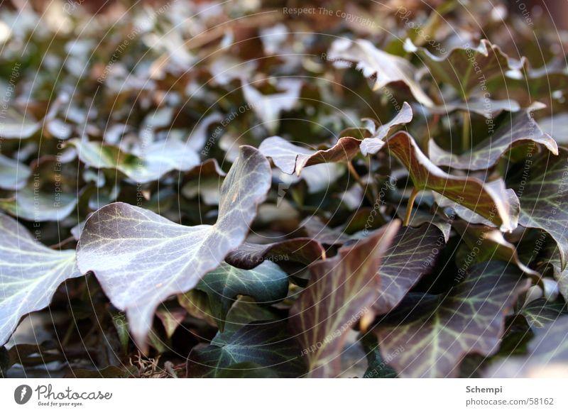 Es grünt Pflanze Blatt Wand Efeu
