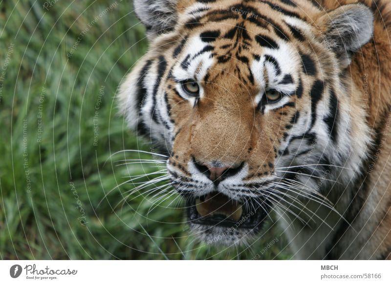Lass mich in Ruhe! Tier Katze Wildtier Tiger drohen Raubkatze