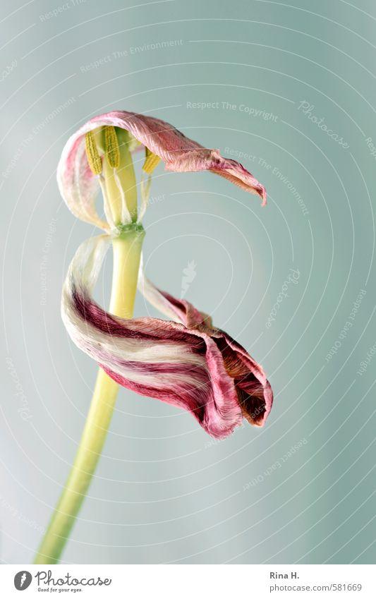 Clap your hands Blume Tulpe Blüte verblüht lustig rosa rot Freude Vergänglichkeit Klatschen Blütenblatt Stempel Stengel Feste & Feiern Tanzveranstaltung Hut