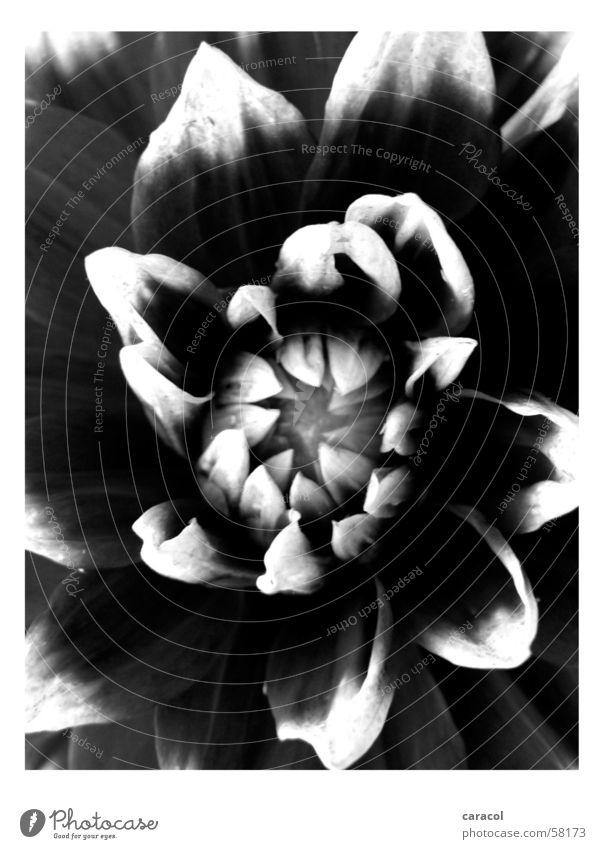 untitled Blume Blüte schwarz weiß flower Natur