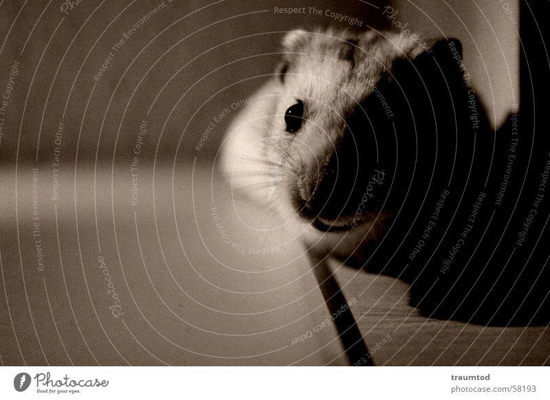 Miss Marple. Hamster Nagetiere Tier Fell braun Schecke kleintier tierchen Auge Sepia Makroaufnahme mirfälltnixein