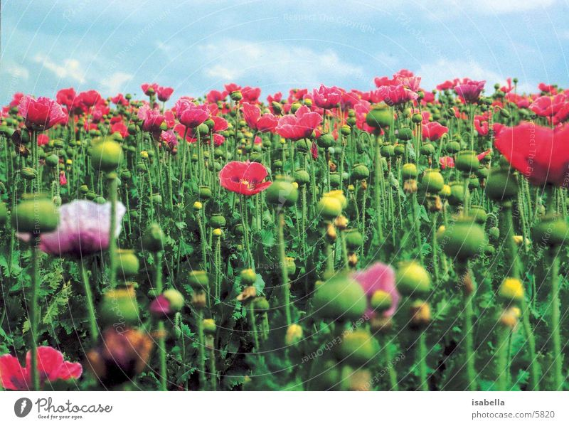 mohnfeld Blume Wiese Feld Mohn