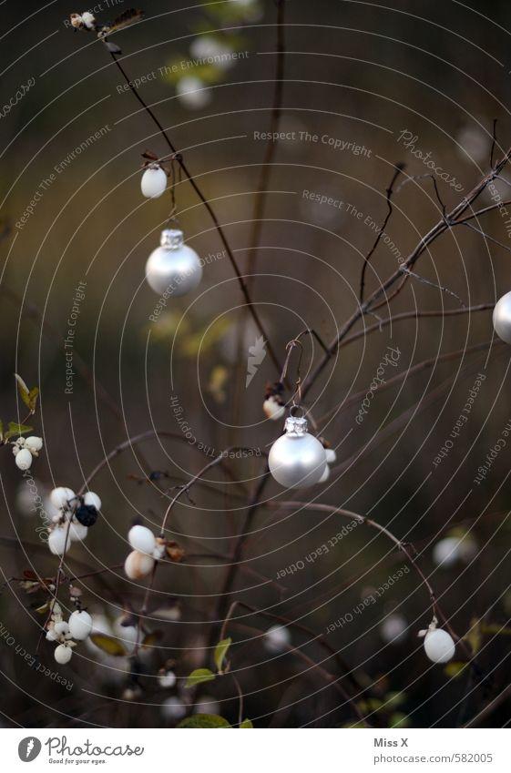 Knallerbsenstrauch ;-) Weihnachten & Advent Winter dunkel außergewöhnlich Garten glänzend Frucht Sträucher Dekoration & Verzierung einzigartig Ast Zweig