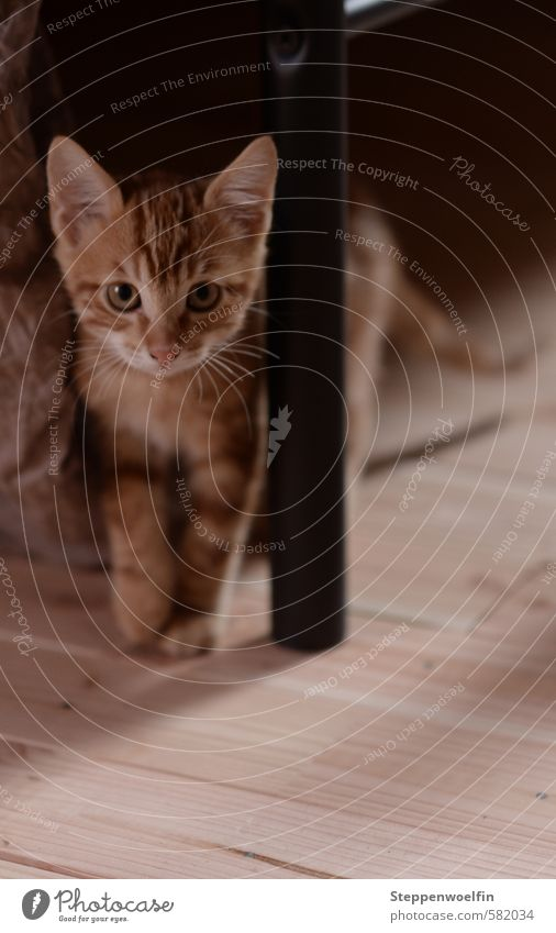 kleines Katerchen Tier Haustier Katze Tiergesicht Pfote 1 Tierjunges entdecken gehen frech frei Freundlichkeit Fröhlichkeit braun orange rot Sicherheit Schutz