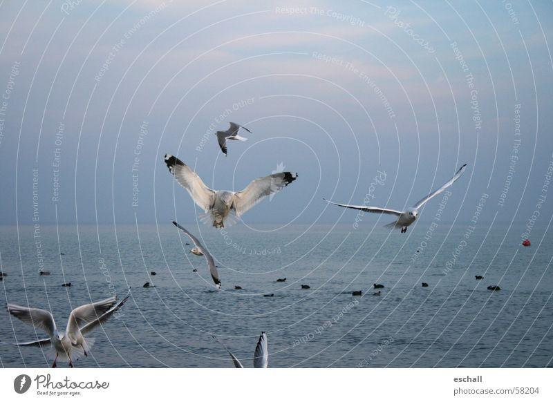 Flugartisten I Natur Wasser Himmel Meer blau Freiheit grau See Vogel fliegen Geschwindigkeit ästhetisch Möwe beweglich Momentaufnahme Bodensee