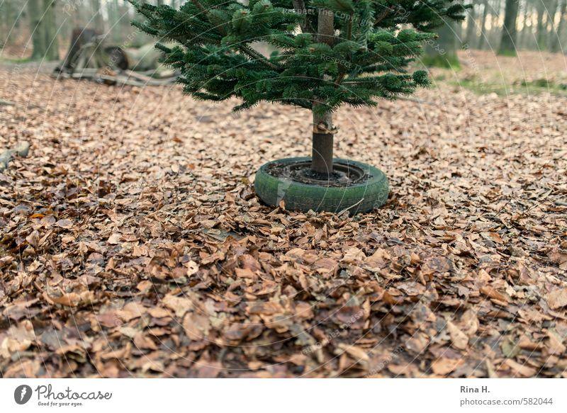 Vorbereitung Natur Weihnachten & Advent Baum Landschaft Blatt Winter Wald Umwelt warten authentisch Weihnachtsbaum Tradition Vorfreude Vorbereitung Autoreifen Buchenblatt