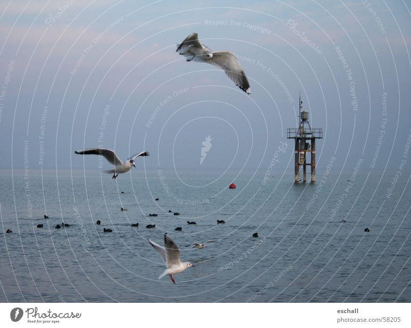 Flugartisten II Farbfoto Gedeckte Farben Außenaufnahme Dämmerung Freiheit Meer Natur Tier Wasser Himmel See Vogel fliegen Geschwindigkeit blau grau beweglich