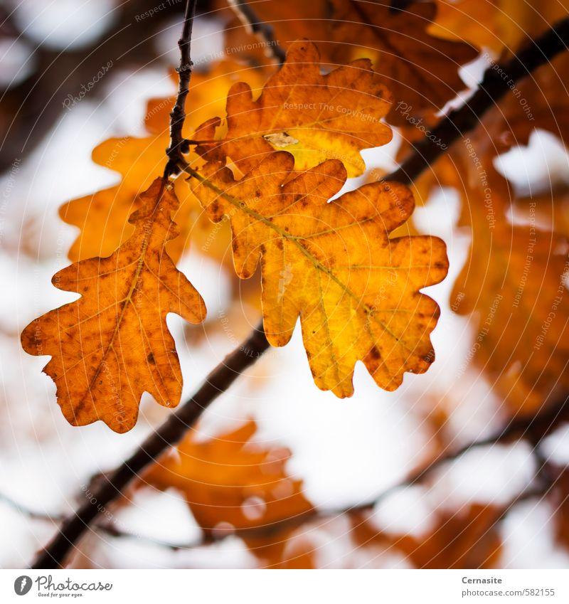 Herbst-Eichenblätter Natur Baum Blatt Stimmung Eichenblatt orange Farbe Vignettierung Ast Farbfoto mehrfarbig Nahaufnahme Menschenleer Tag Licht Schatten