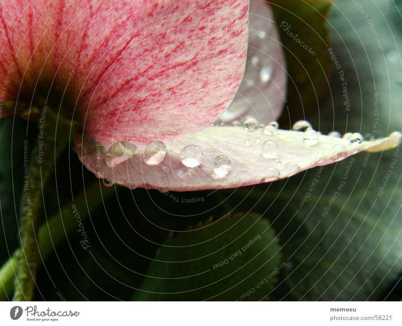 Tauperlen Blatt Blüte Frühling Seil Christrose