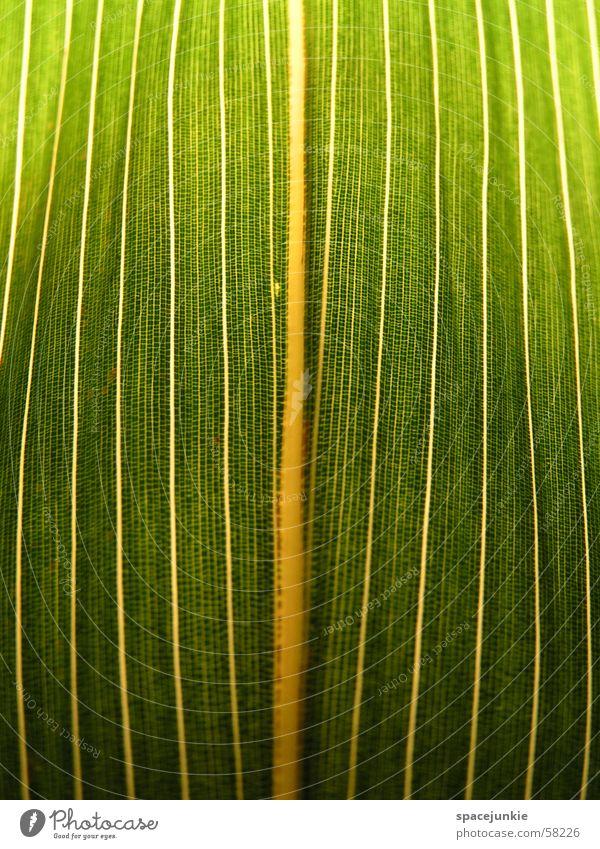 Blattstruktur grün gelb weiß Blattadern Makroaufnahme Bambusrohr Gefängniszelle