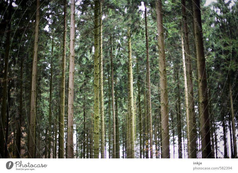 Finsterwald Natur grün Baum Wald Umwelt Gefühle Herbst braun stehen Wachstum hoch Baumstamm lang eng parallel Nadelwald