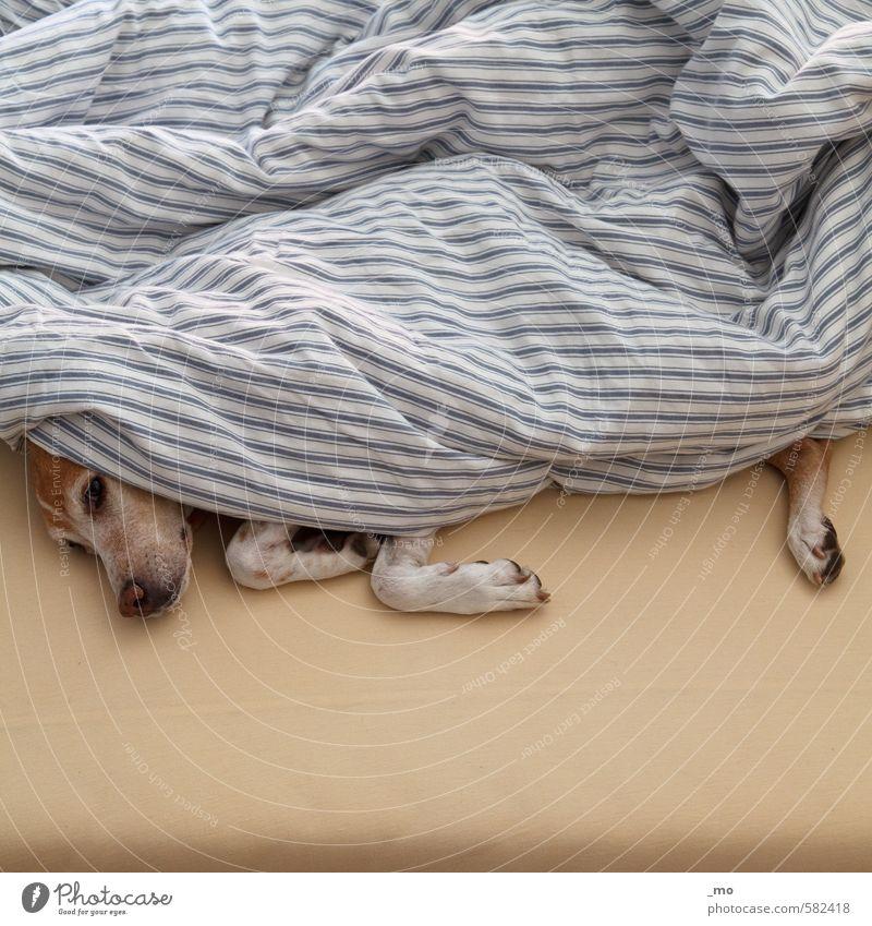 sundaymorning harmonisch Wohlgefühl ruhig Bett Schlafzimmer Tier Haustier Hund 1 Erholung schlafen niedlich Wärme Geborgenheit Warmherzigkeit Tierliebe